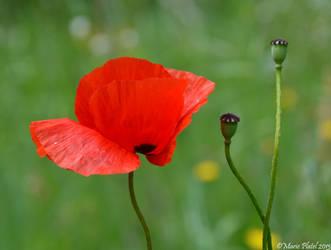 Poppy V by marytchoo