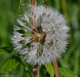 Dandelion by marytchoo