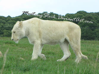 White Lioness Stock by MustangStock