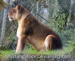 Lioness Stock 2 by MustangStock