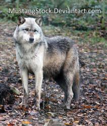 Wolf Stock 2 by MustangStock