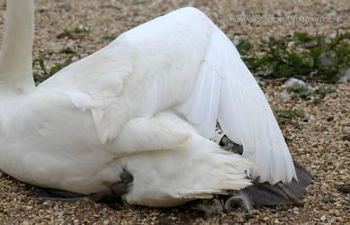 Swan Wings 2 by MustangStock