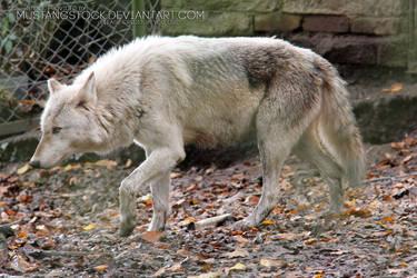 Wolf Stock by MustangStock