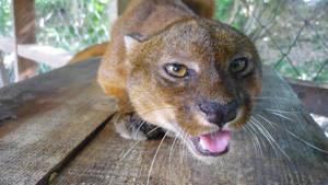 Puma Yaguarundi by josuemz