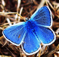 Blue Butterfly_ghs by nurisagaltici