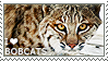 I love Bobcats by WishmasterAlchemist