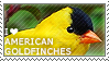 I love American Goldfinches by WishmasterAlchemist