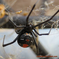 Redback (Photo1) - 24102018 by Cattereia