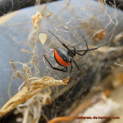 Redback (Photo2) - 24102018 by Cattereia