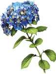 Blue Hydrangea by KmyGraphic