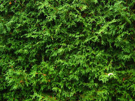 Stock Cedar Hedge 1 by Camo-Stock