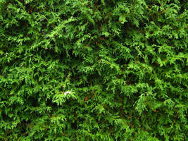 Stock Cedar Hedge 2 by Camo-Stock