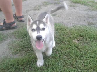 Meet Leo the Husky by eryk276