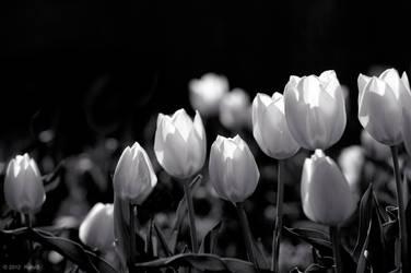 Splendor Tulpen by OmarAziz