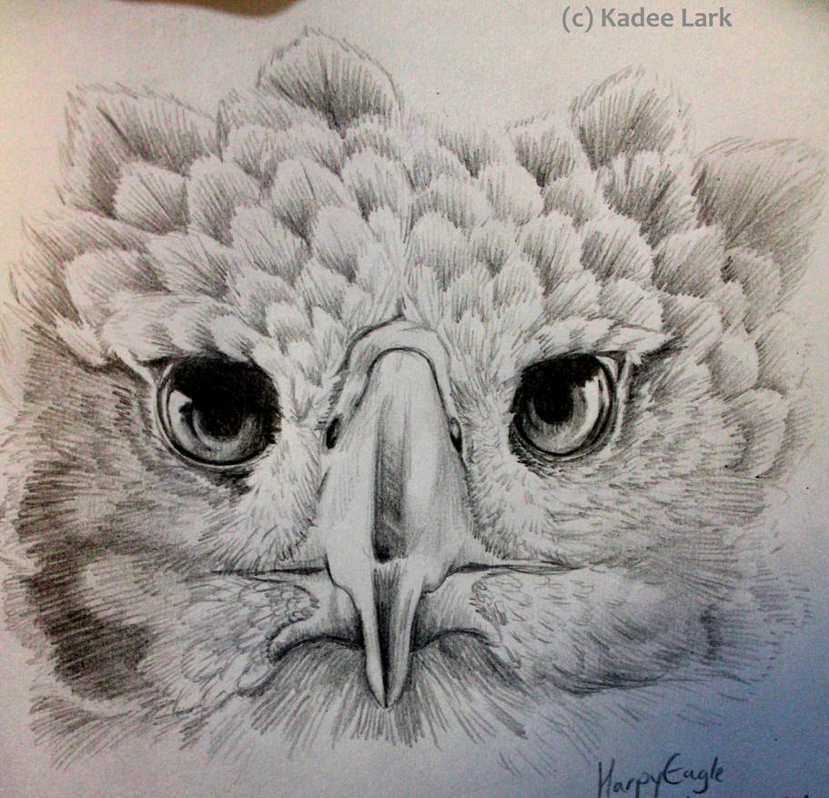 Harpy eagle pencil sketch by kadeelark