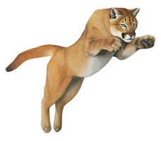 Cougar Jumping by silvercrossfox