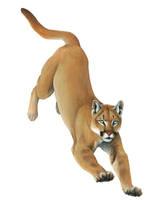 Cougar Landing by silvercrossfox