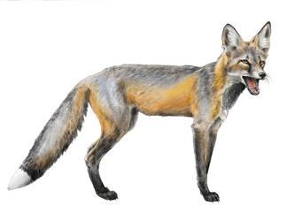 Cross Fox Calling by silvercrossfox