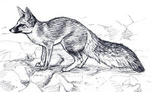 Blanford's Fox by silvercrossfox