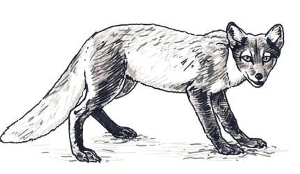 Arctic Fox in Summer sketch by silvercrossfox