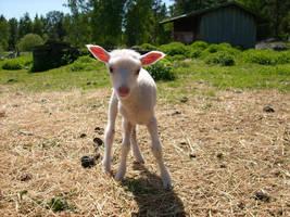 Lamb by nattdis