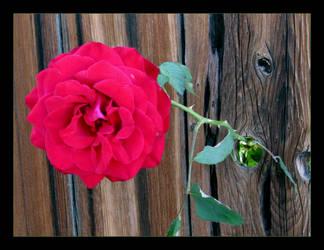 Knothole Rose by canology