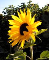 Joyful Sunflower by JocelyneR