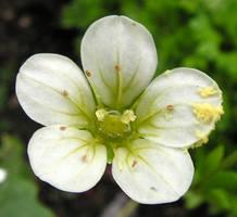 Pollen on a Tiny Flower by JocelyneR