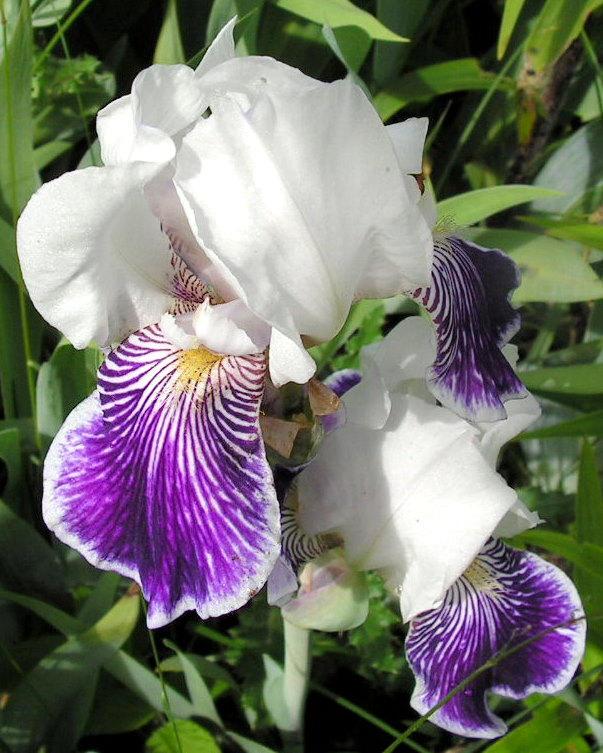 Blue and White Iris by JocelyneR