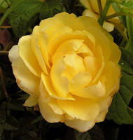 The Sole Rose of the Summer by JocelyneR