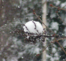 Snow Ball on the Lilac by JocelyneR