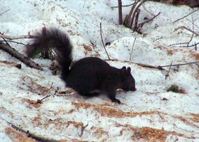 A Black Squirrel by JocelyneR