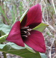 Red Trilium, a Wild Flower by JocelyneR