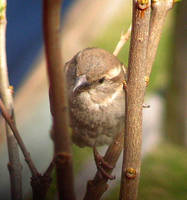Female House Sparrow by JocelyneR