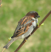 Male House Sparrow Resting by JocelyneR