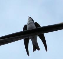A Tree Swallow by JocelyneR