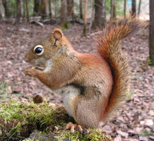 A Reddish-Brown Squirrel by JocelyneR