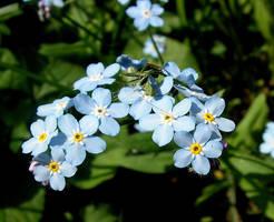 Blue Forget-me-not by JocelyneR