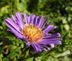 Purple Flower by JocelyneR