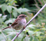 White-throated Sparrow 02 by JocelyneR