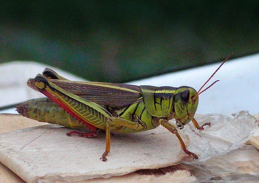 A Grasshopper 02 by JocelyneR