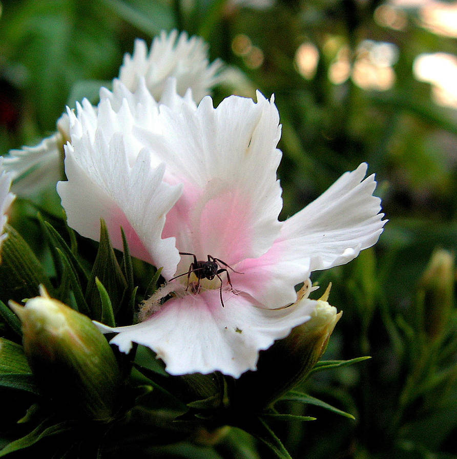 Ant on the Dianthus -for Gypsy by JocelyneR