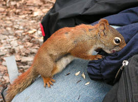 Hungry Squirrel by JocelyneR