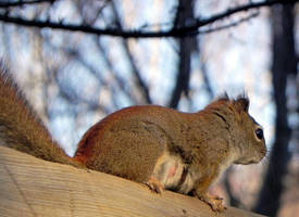 Wary Mum Squirrel by JocelyneR