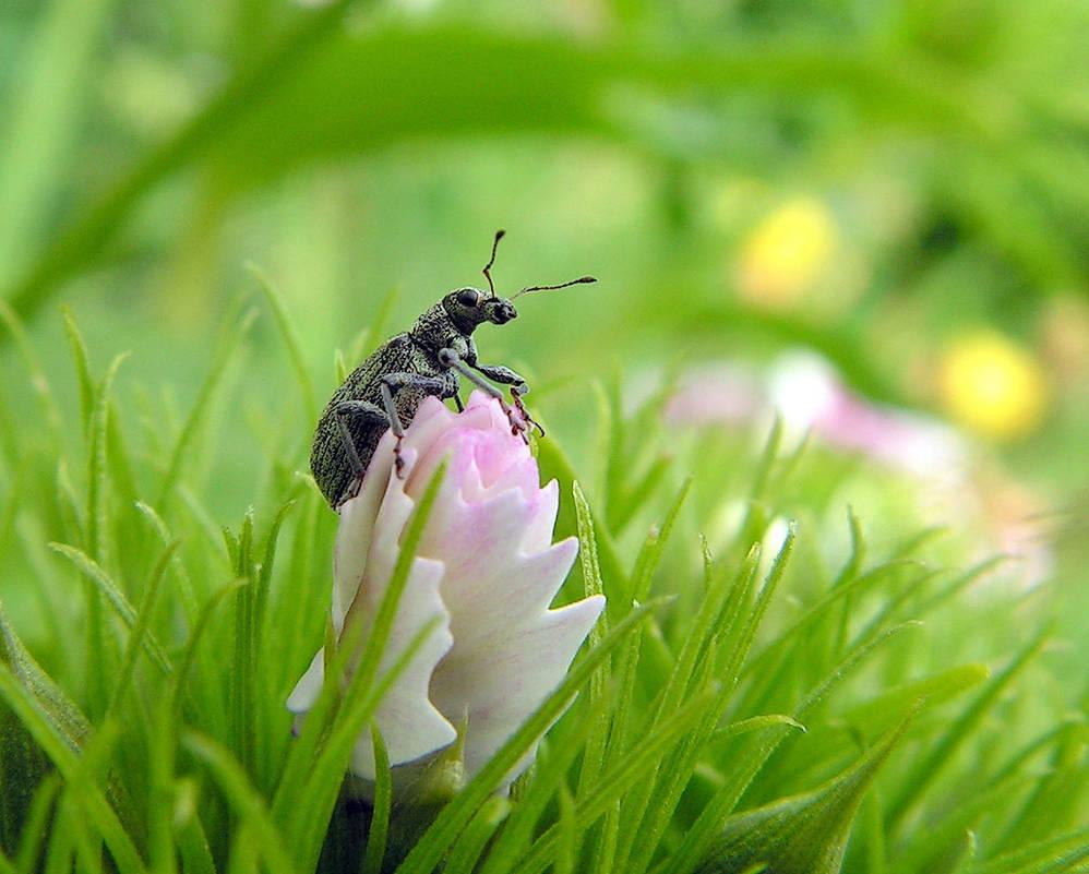 Bug on a Dianthus Bud - Weevil by JocelyneR