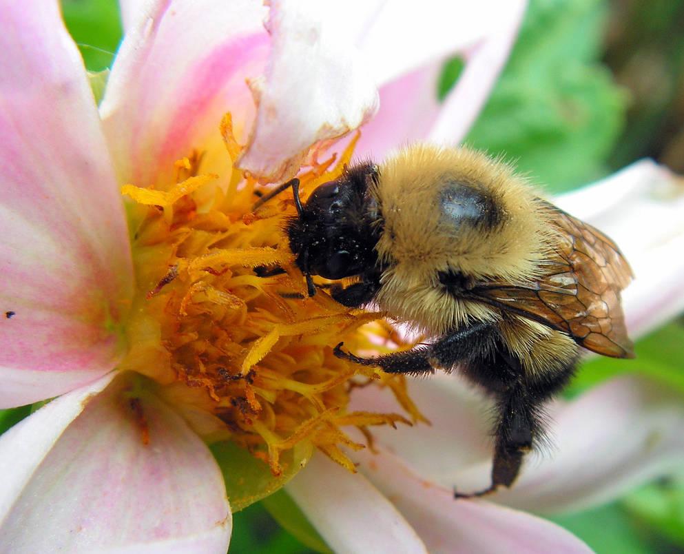 Bee on Dahlia Decaying by JocelyneR