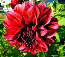 The last Dahlia by JocelyneR