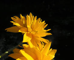 Heliopsis, Light and Shadow by JocelyneR