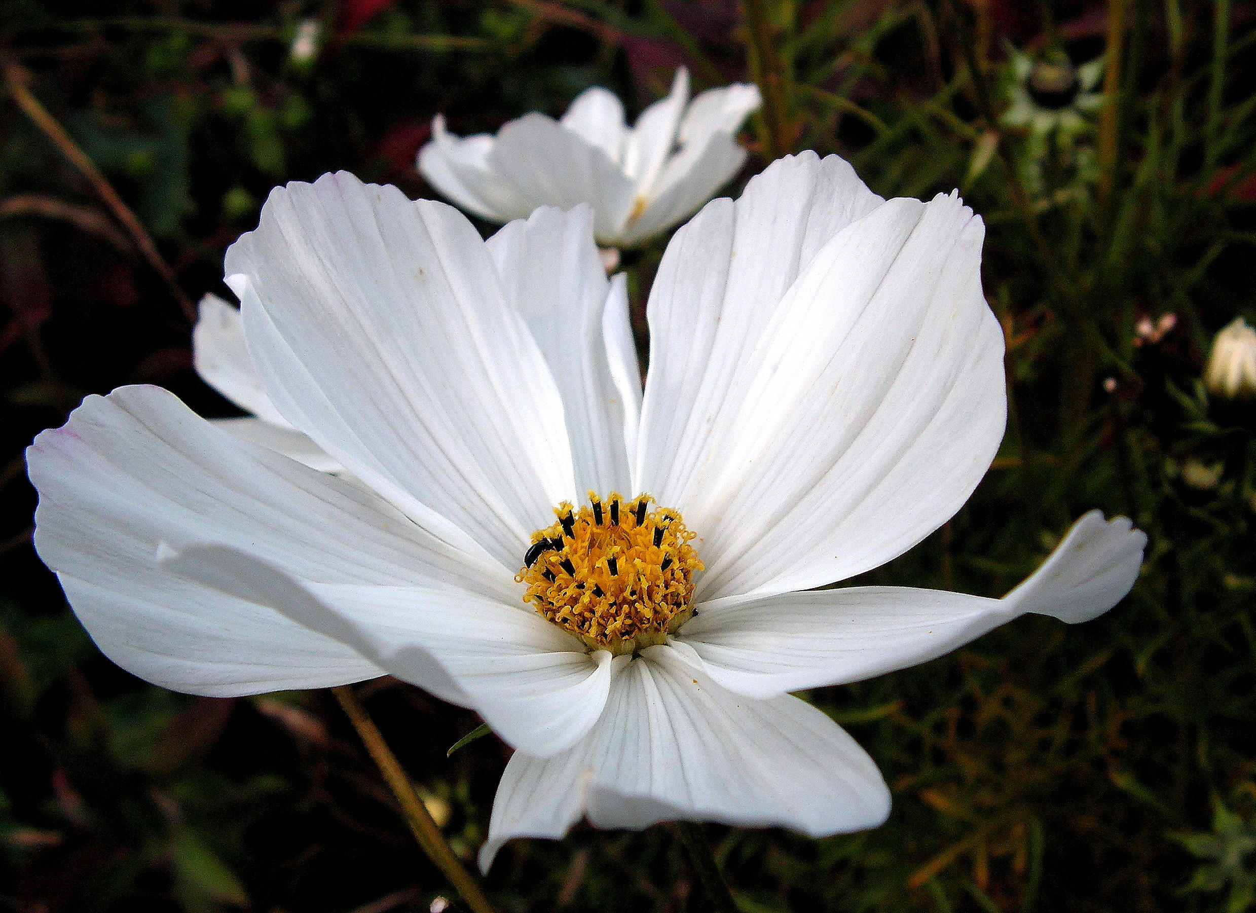A White Cosmos by JocelyneR