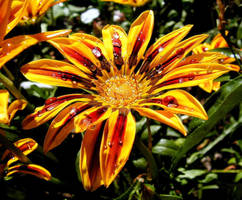 Gazania Under The Rain by JocelyneR